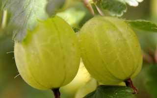 Крыжовник Золотистый — описание сорта, фото и отзывы садоводов