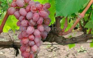 Виноград Тайфи: описание сорта, фото и отзывы садоводов