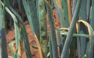 Болезни лука репчатого и их лечение с фото