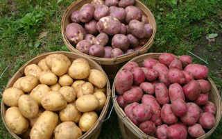 Картофель Челленджер — описание сорта, фото, отзывы, посадка и уход