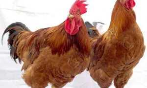 Цыплята Redbro – Описание расы, содержимое, видео