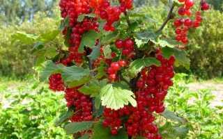 Смородина красная Голландская — описание сорта, фото, отзывы