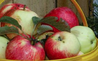 Яблоня китайка Бельфлер — описание сорта, фото, отзывы