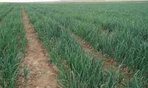 Урожайность лука с 1 га