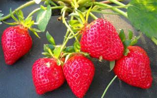 Земляника Клери – описание сорта, фото, отзывы садоводов