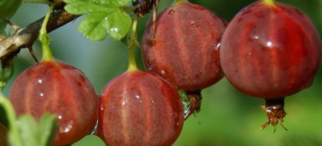 Крыжовник: выращивание, уход и обрезка