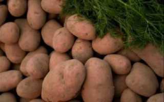 Вектор картофеля: описание сортов, значений вкуса, фото, отзывы