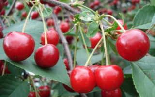 Вишня Причуда — описание сорта, фото, отзывы садоводов