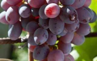 Виноград Низина: описание сорта, фото и отзывы садоводов