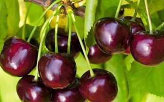 Подарок вишне для Степановой, особенности сорта, отзывы и правила ухода
