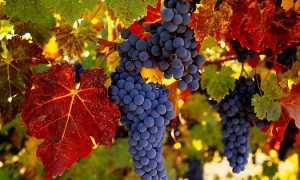 Уход за виноградом в сентябре в средней полосе