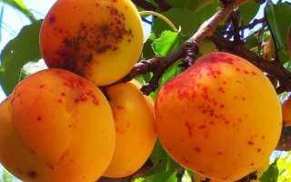 Парша на абрикосах — что делать?