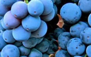 Виноград Мерло: описание сорта, фото и отзывы садоводов
