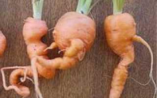 Почему морковь растет корявая и что делать?