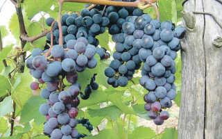 Виноград Левокумский: описание сорта, фото и отзывы садоводов