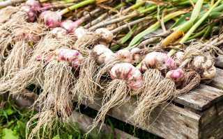 Уборка чеснока в дождливое лето
