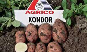 Картофель Кондор — описание сорта, фото, отзывы, посадка и уход