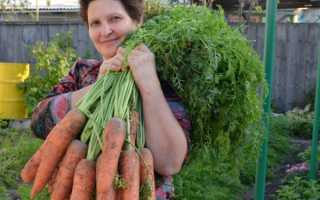 Агротехника моркови