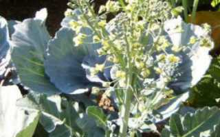 Как получить семена капусты?