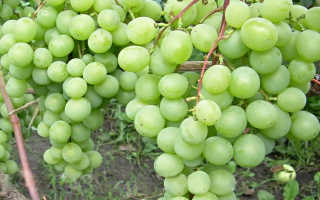 Виноград Талисман: описание сорта, фото и отзывы садоводов