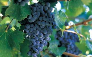 Сорта винограда для Ростовской области с фото и описанием