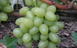 Виноград Надежда Аксайская: описание сорта, фото и отзывы садоводов