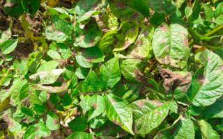 Борьба с фитофторой на картофеле