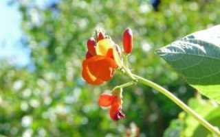Выращивание вьющейся фасоли в открытом грунте