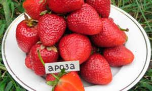 Земляника Ароза: выращивание, описание сорта, фото и отзывы