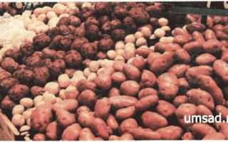 Сорта картофеля для республики Коми