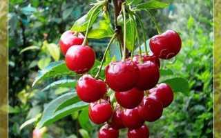 Лучшие сорта вишни для Ростовской области