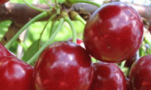Вишня Надежда — описание сорта, фото, отзывы садоводов