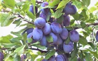 Алыча Надежда — описание сорта, фото и отзывы садоводов