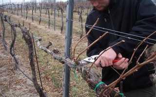 Как утеплить виноград на зиму?