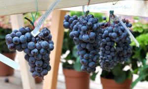 Лучшие сорта винограда для Урала с фото и описанием