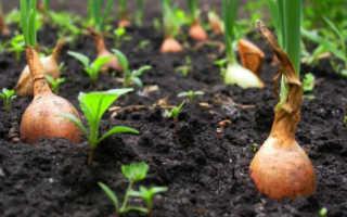 Когда убирать лук севок с грядки?