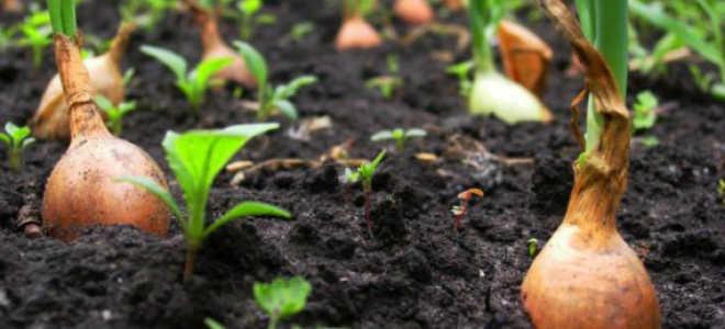 Уборка урожая лука севка
